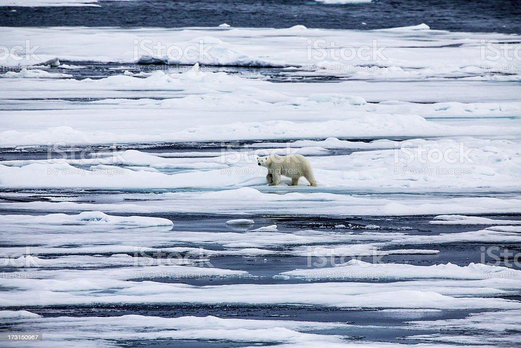 Polar bear  on an ice flow stock photo