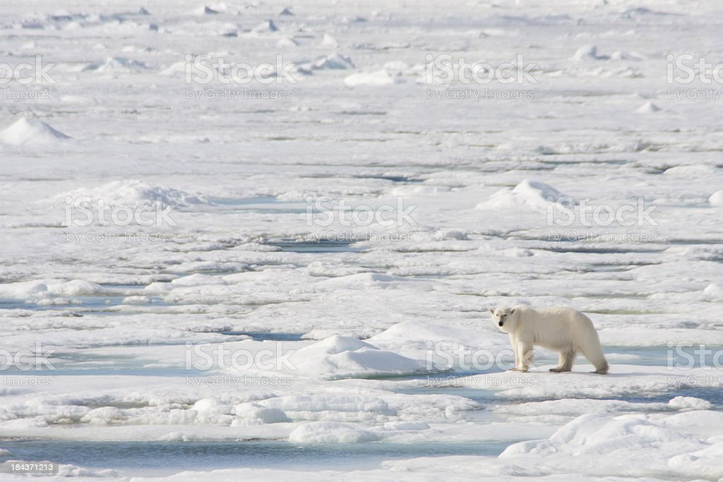 Polar Bear on Arctic Sea Ice stock photo