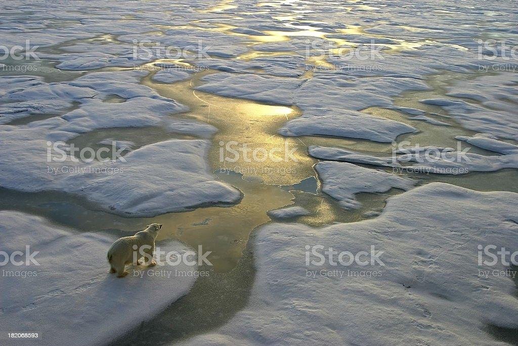 Polar bear on ice close to golden glittering water royalty-free stock photo