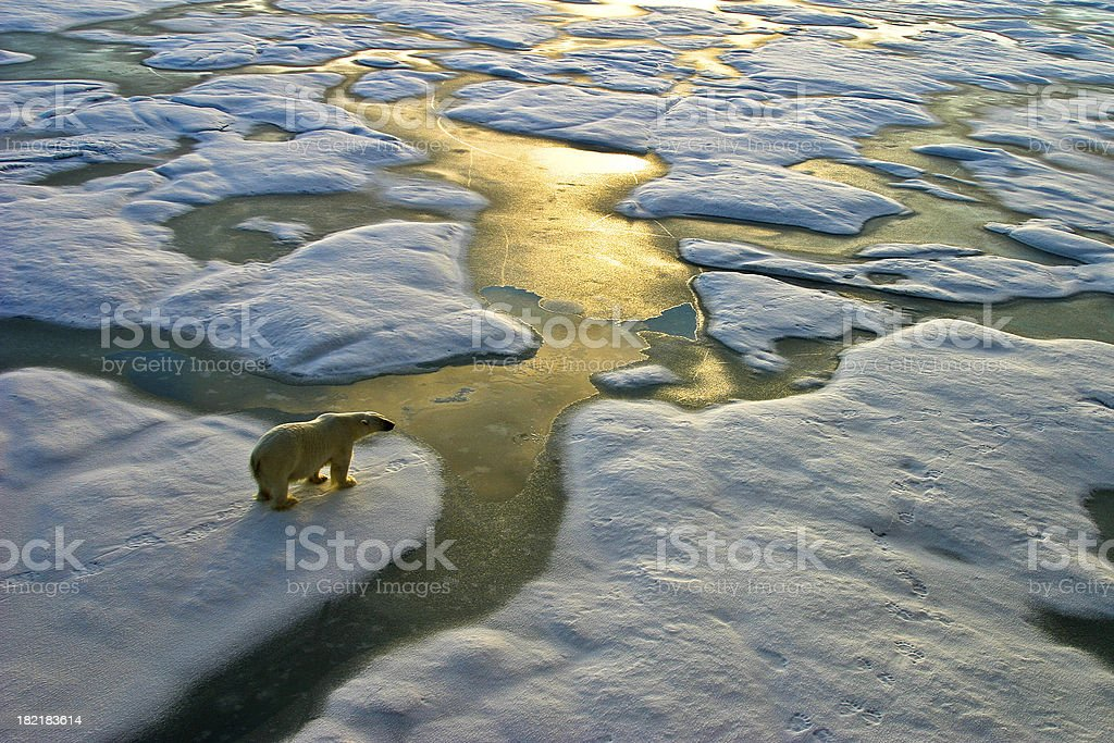 Polar bear on ice close to golden glittering water stock photo