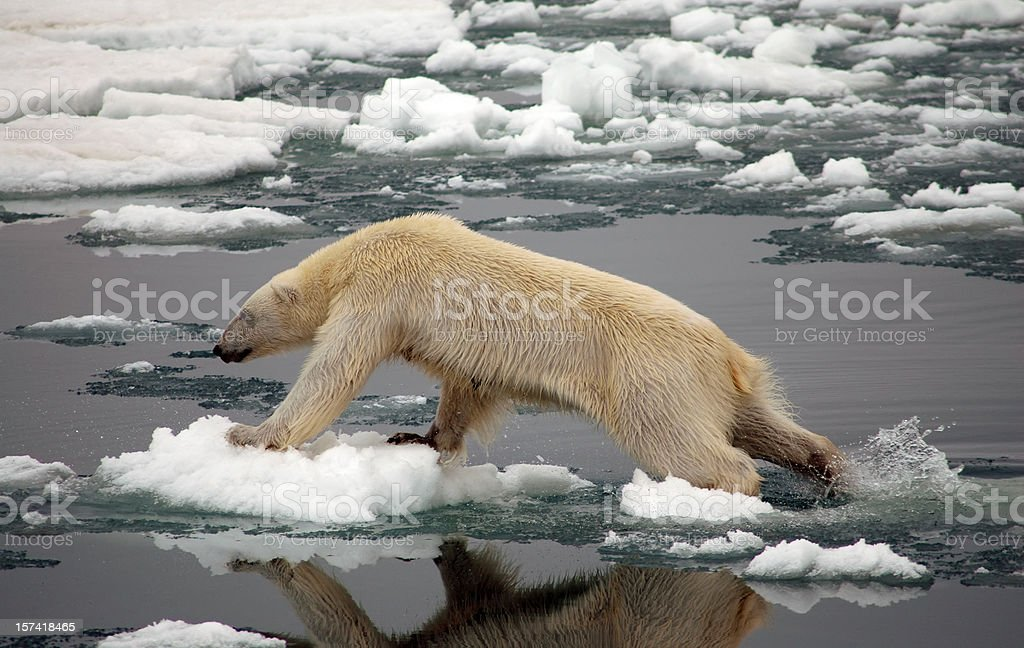 Polar Bear on ice royalty-free stock photo