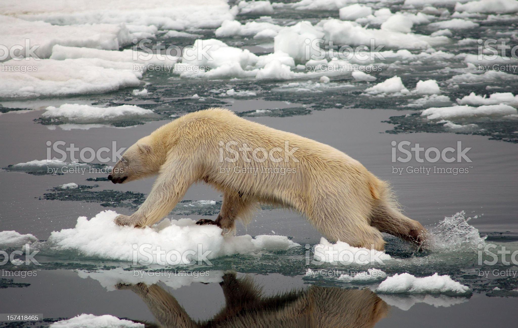 Polar Bear on ice royalty-free stock photo