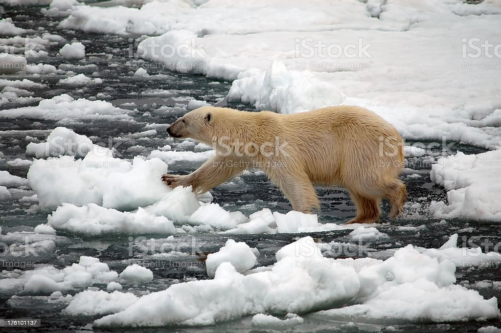 Polar Bear on ice stock photo