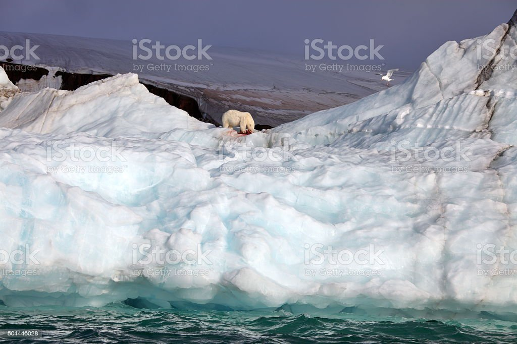 Polar bear on iceberg with its prey stock photo
