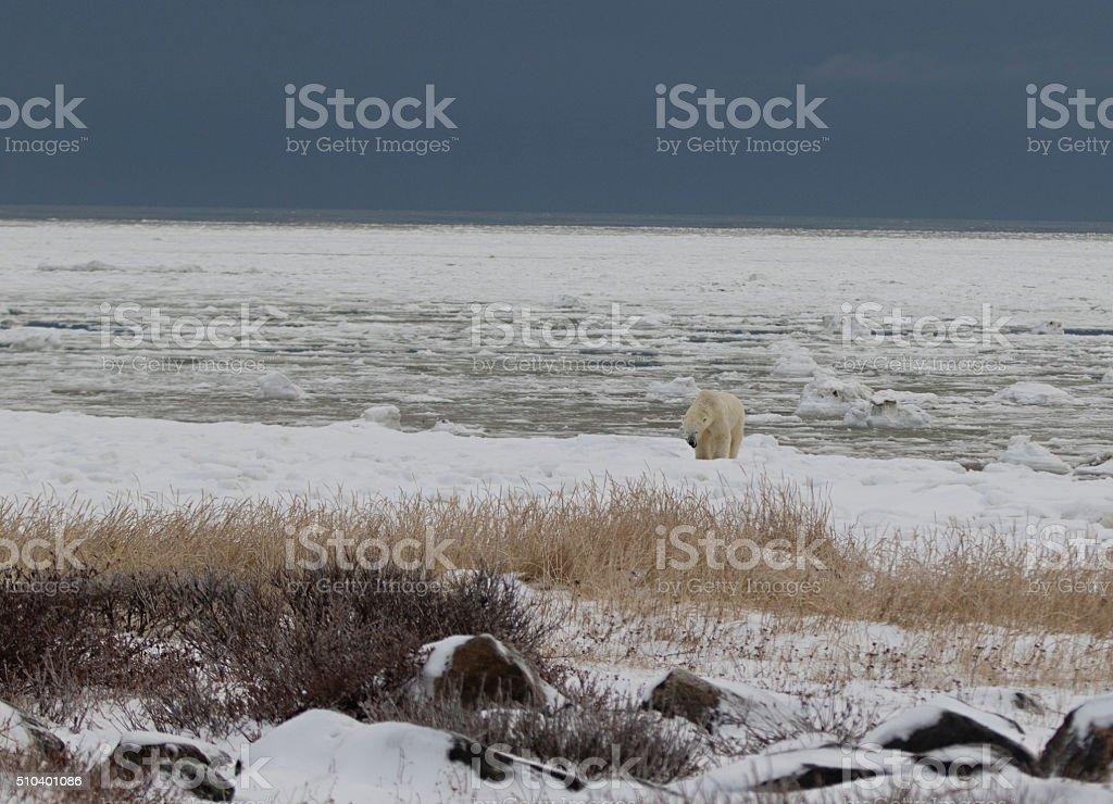 Polar Bear on icy Hudson Bay stock photo