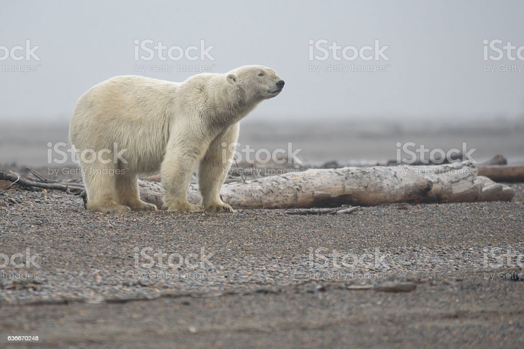 Polar Bear on Land in Full Profile stock photo
