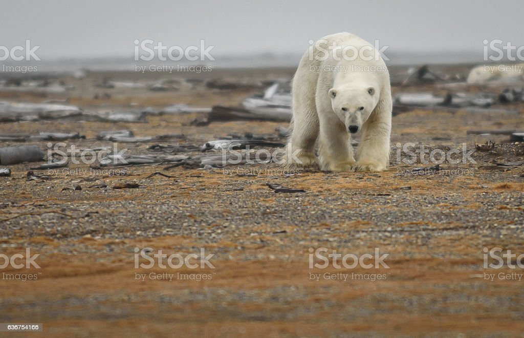 Polar Bear on Land in the Arctic National Wildlife Refuge stock photo