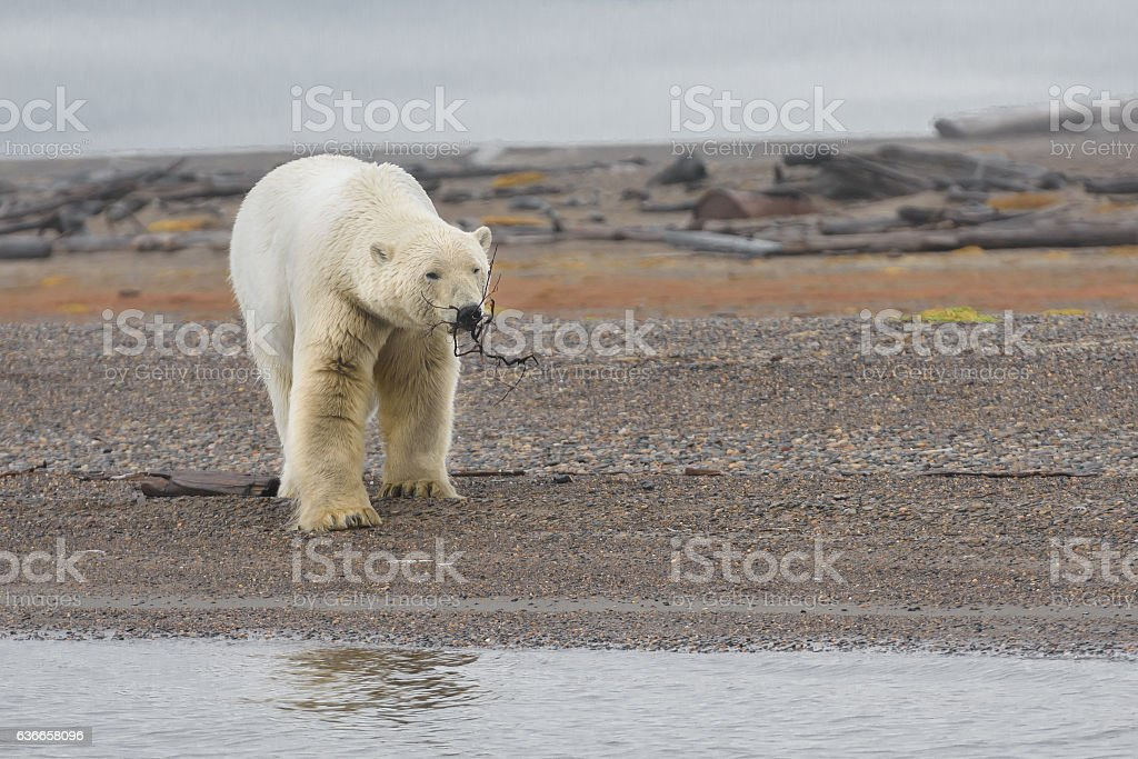 Polar Bear on Land Playing with Stick in Mouth stock photo