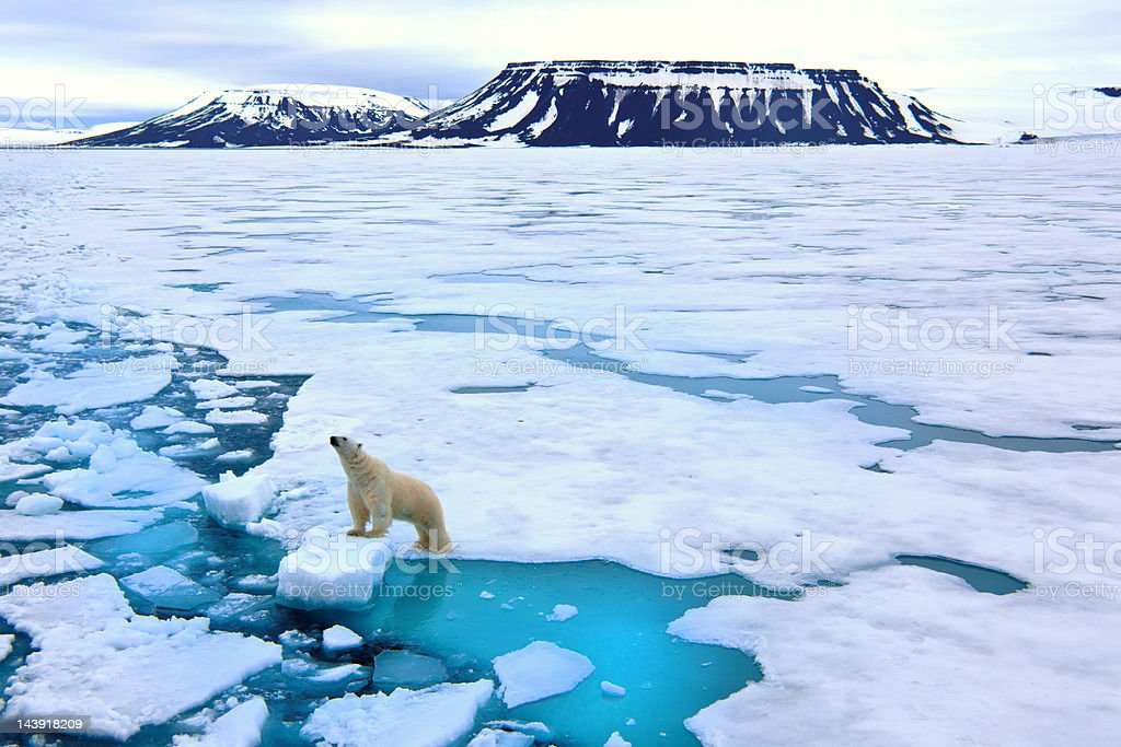 Polar bear on pack ice royalty-free stock photo