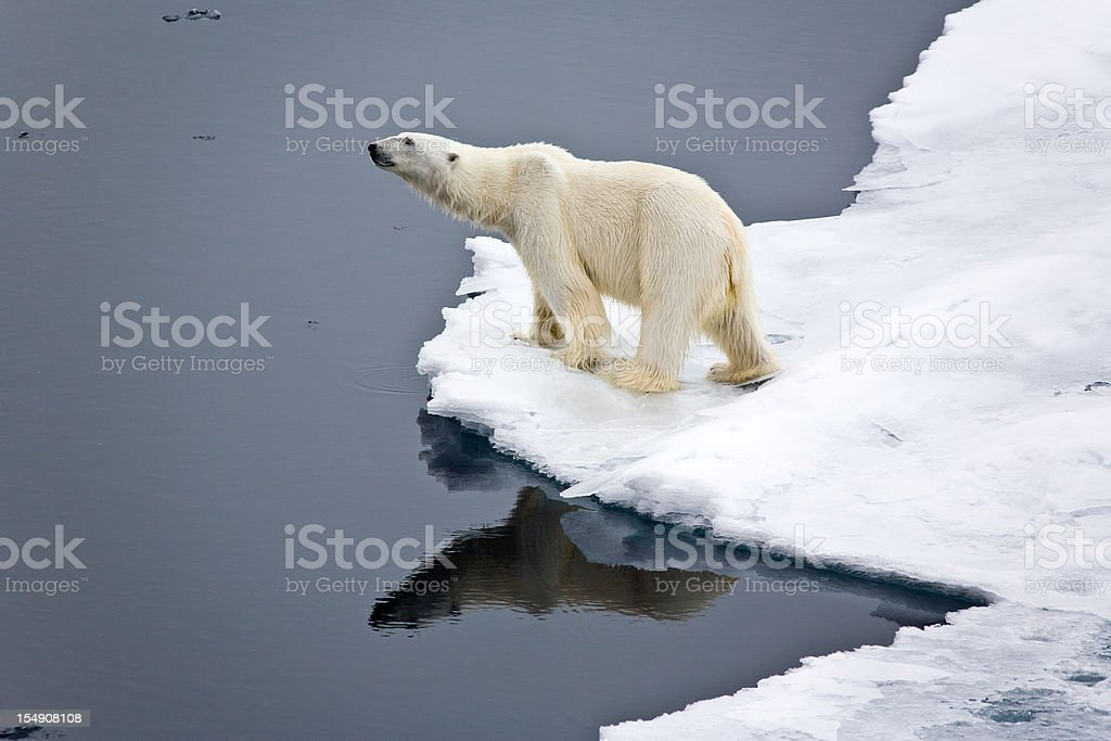 Polar bear on pack ice stock photo
