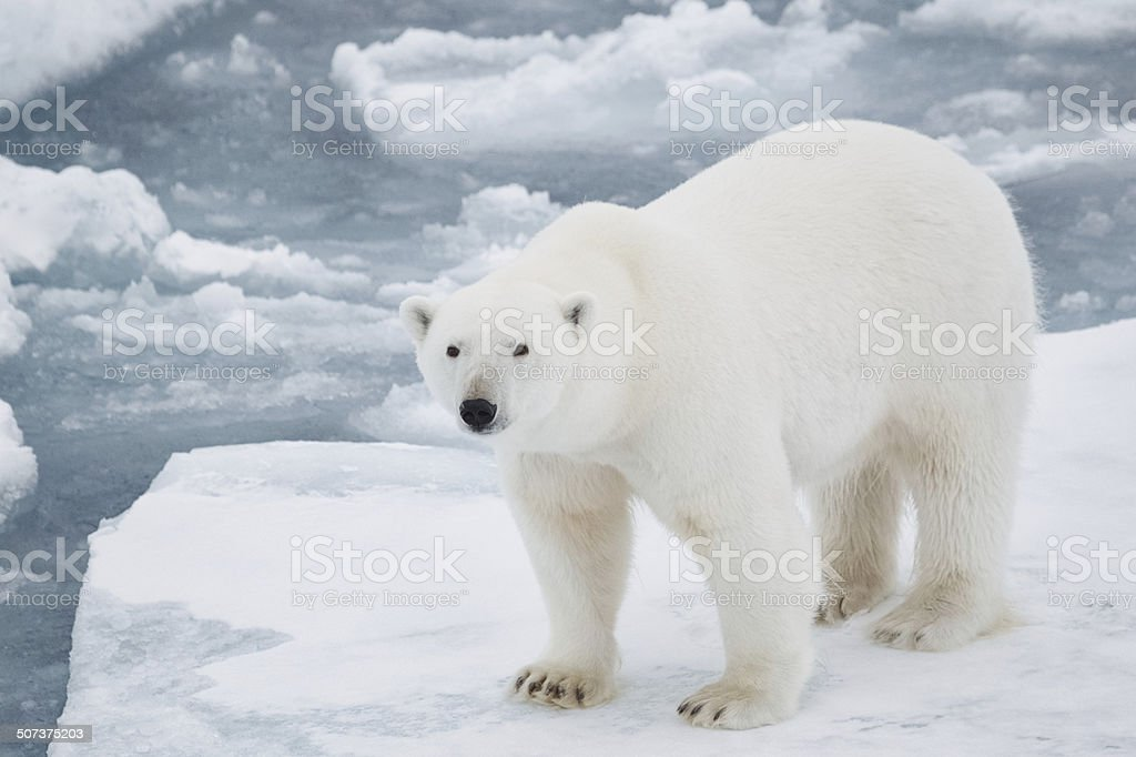 Polar Bear on Pack Ice stock photo