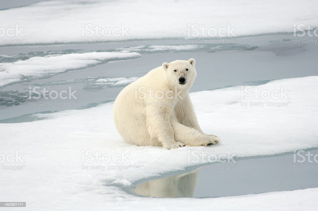 Polar bear on sheet of ice at water's edge stock photo