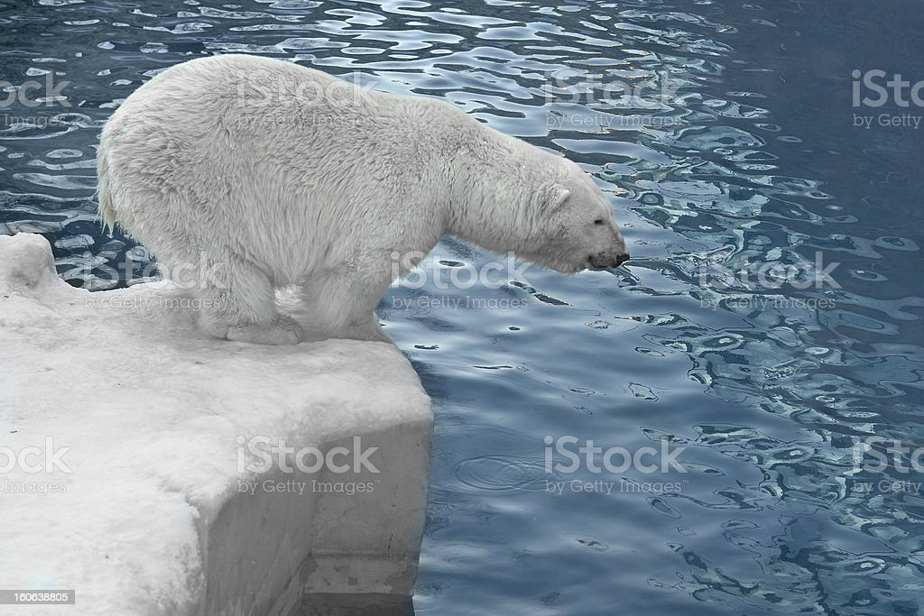Polar bear on the shore royalty-free stock photo