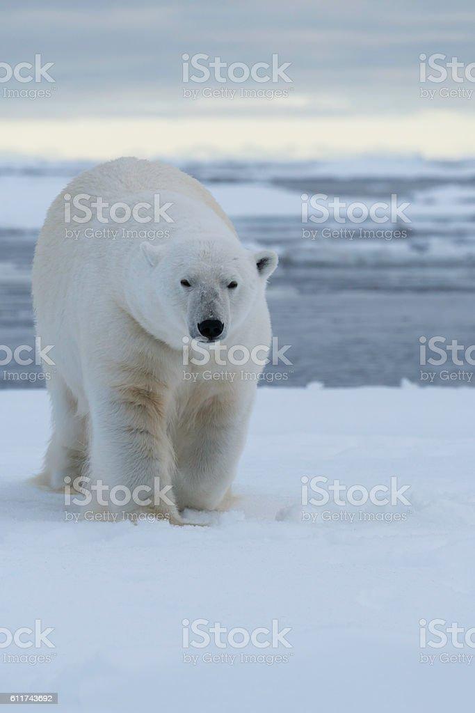 Polar Bear Pack Ice stock photo