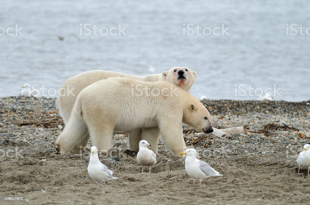 Polar Bear pair walking beach stock photo