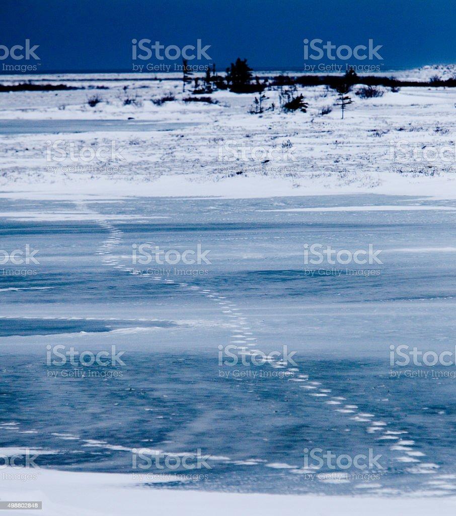 Polar bear paw prints in the lake and snow stock photo