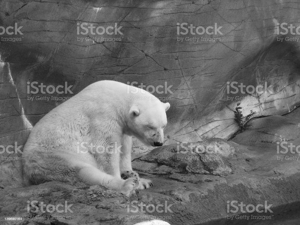 Polar Bear (Black & White) royalty-free stock photo