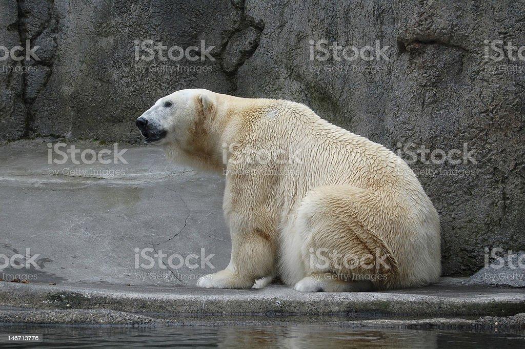 Polar bear Lizenzfreies stock-foto