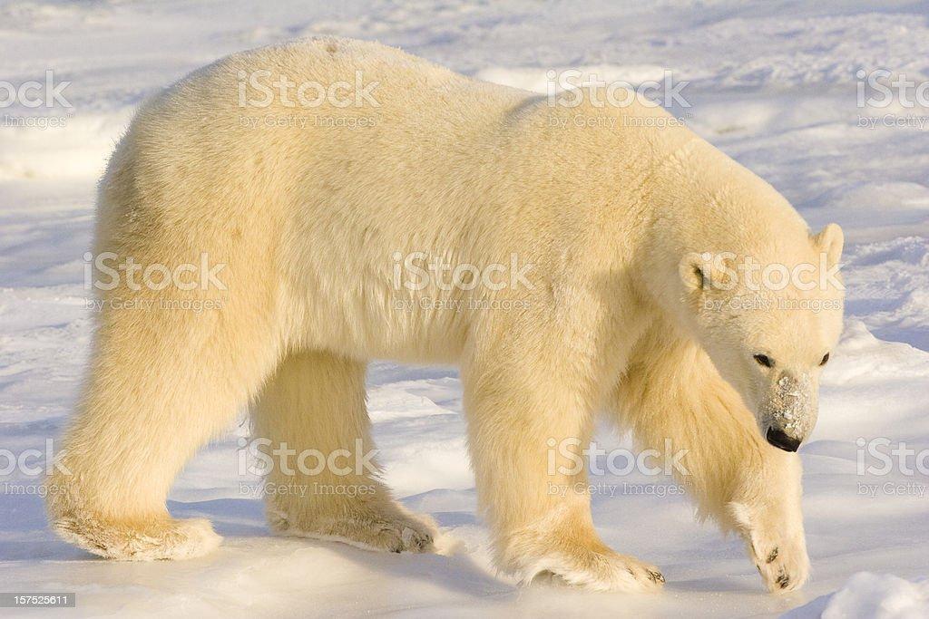 Polar bear. stock photo