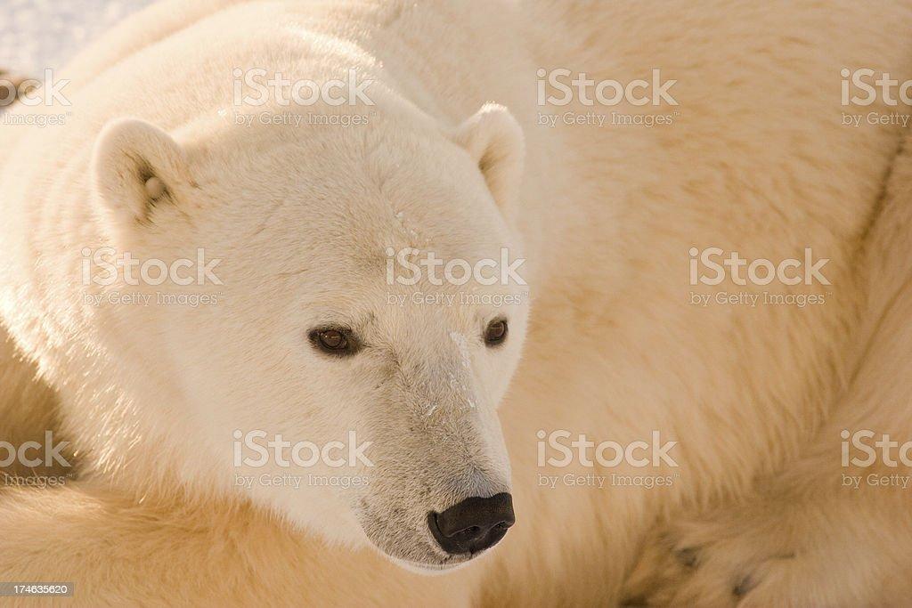 Polar bear. royalty-free stock photo