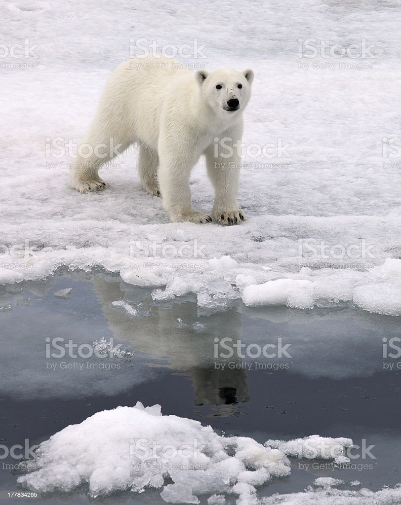 Polar bear royalty-free stock photo