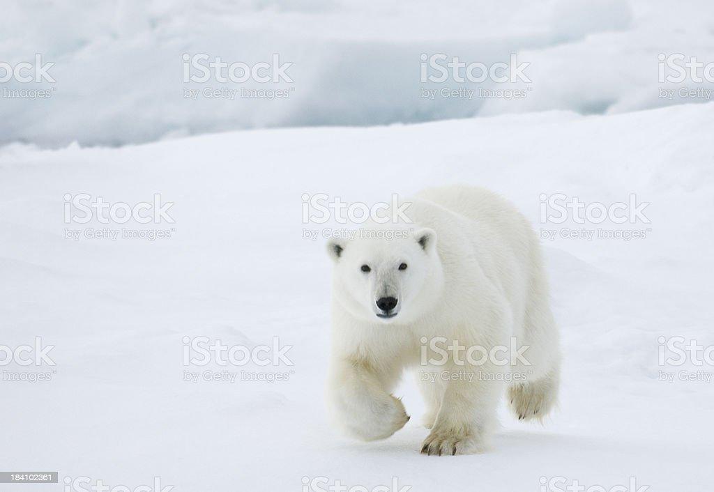Polar bear royalty-free stock photo