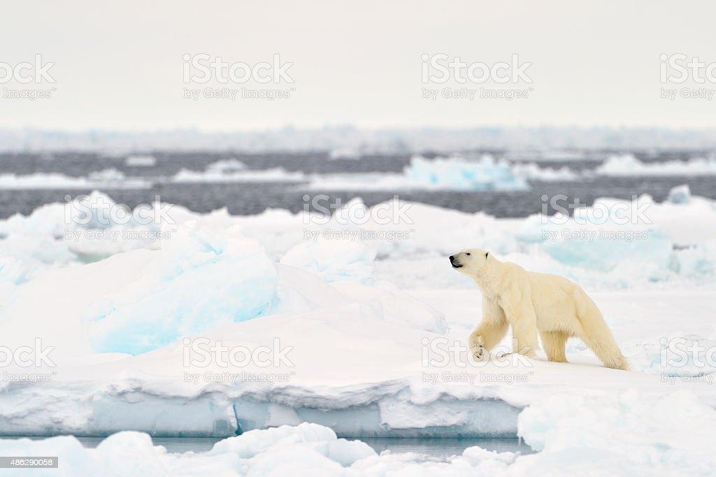 Polar Bear (Ursus maritimus) stock photo