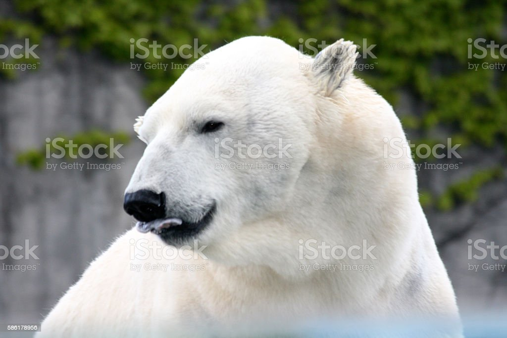 polar bear   (ursus maritimus) stock photo