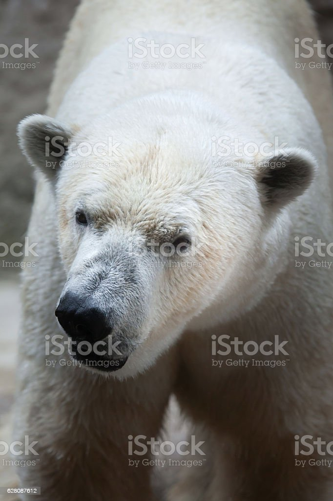 Polar bear (Ursus maritimus). stock photo