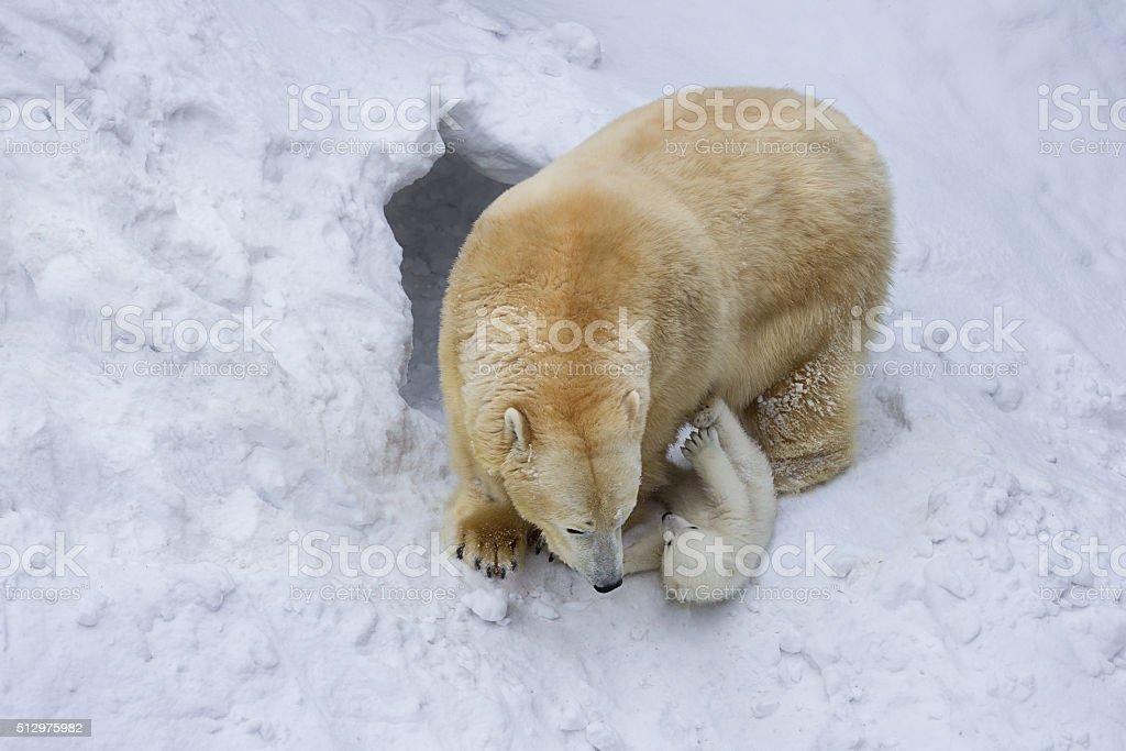 Polar bear plays with a bear cub near a den. stock photo
