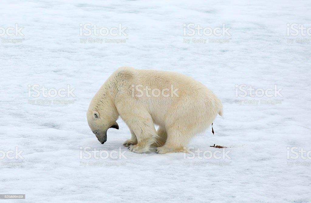 Polar bear pooping on the ice stock photo