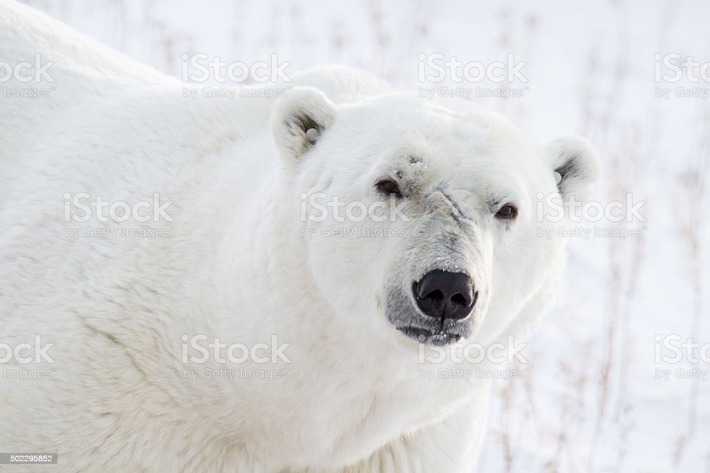 polar bear portrait and scars stock photo