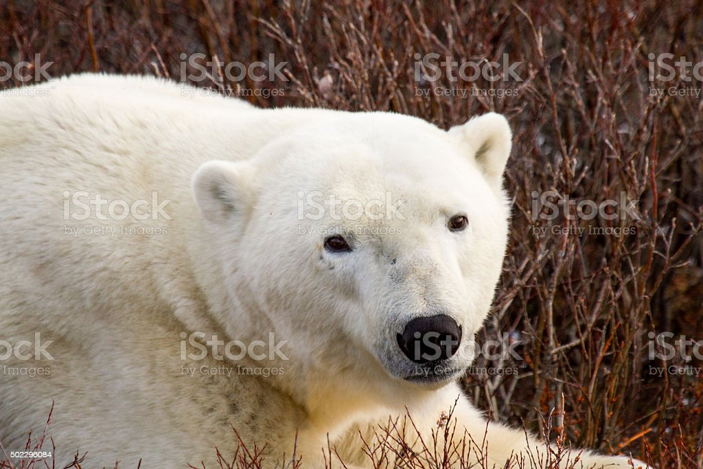polar bear relaxing in bushes stock photo