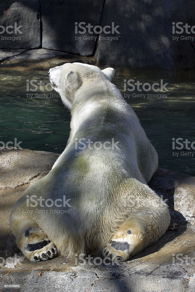Polar Bear Relaxing royalty-free stock photo