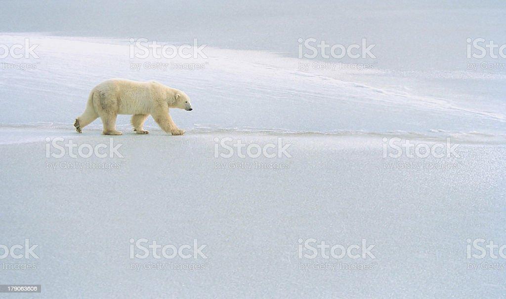 polar bear roams ice pack near churchill canada royalty-free stock photo
