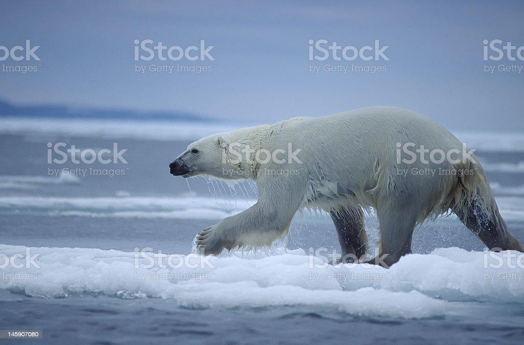 Polar bear running on ice floe stock photo