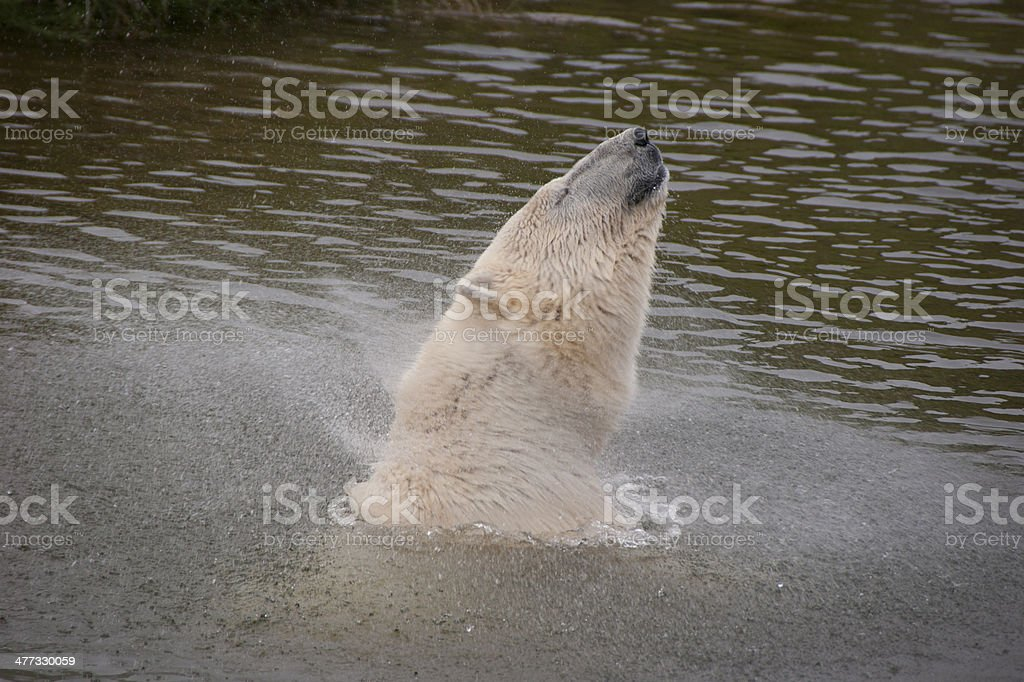 Polar Bear shaking off water after a swim royalty-free stock photo