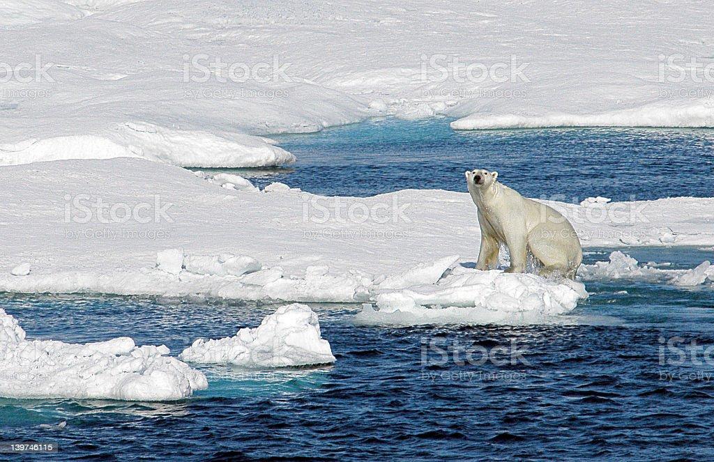 Polar bear sits on iceberg looking at camera royalty-free stock photo