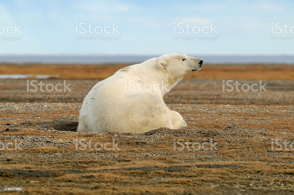 Polar Bear sitting in gravel stock photo