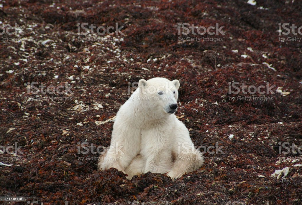 Polar Bear Sitting in Kelp royalty-free stock photo