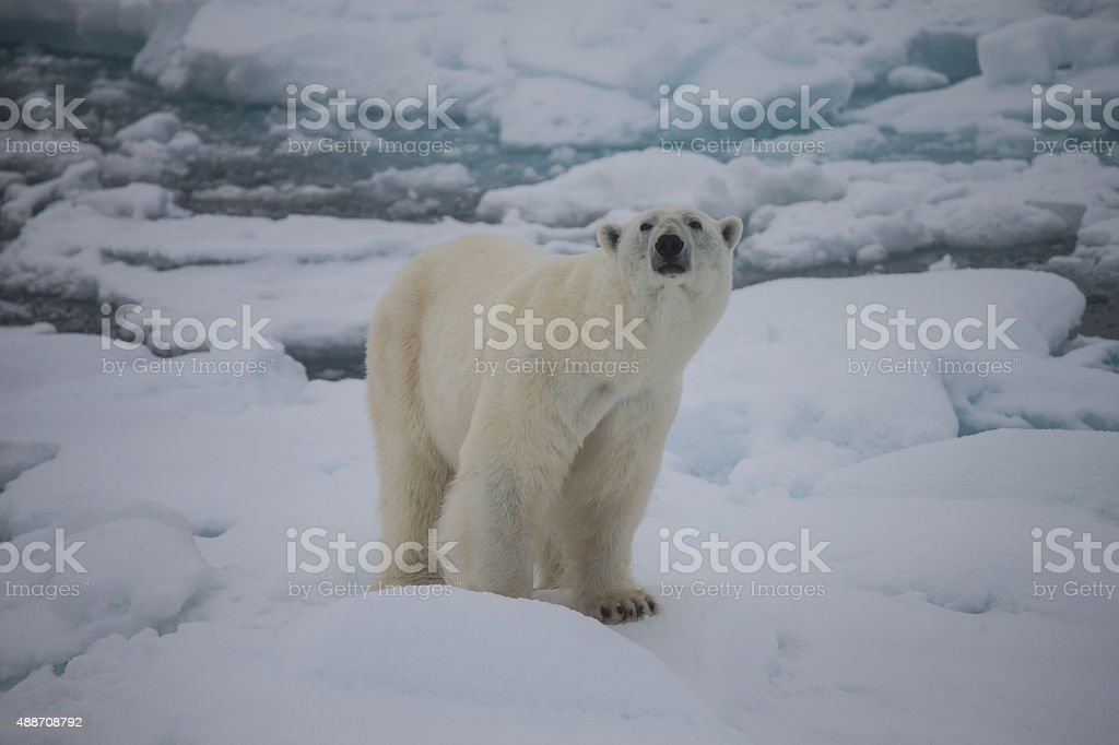Polar bear sitting on ice floe surrounded by water stock photo