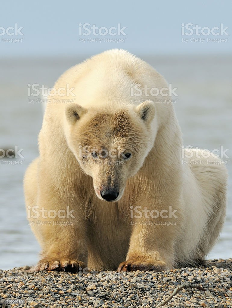 Polar Bear sitting stock photo