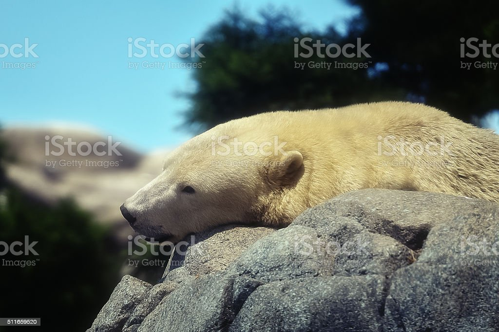 Polar bear sleeping stock photo