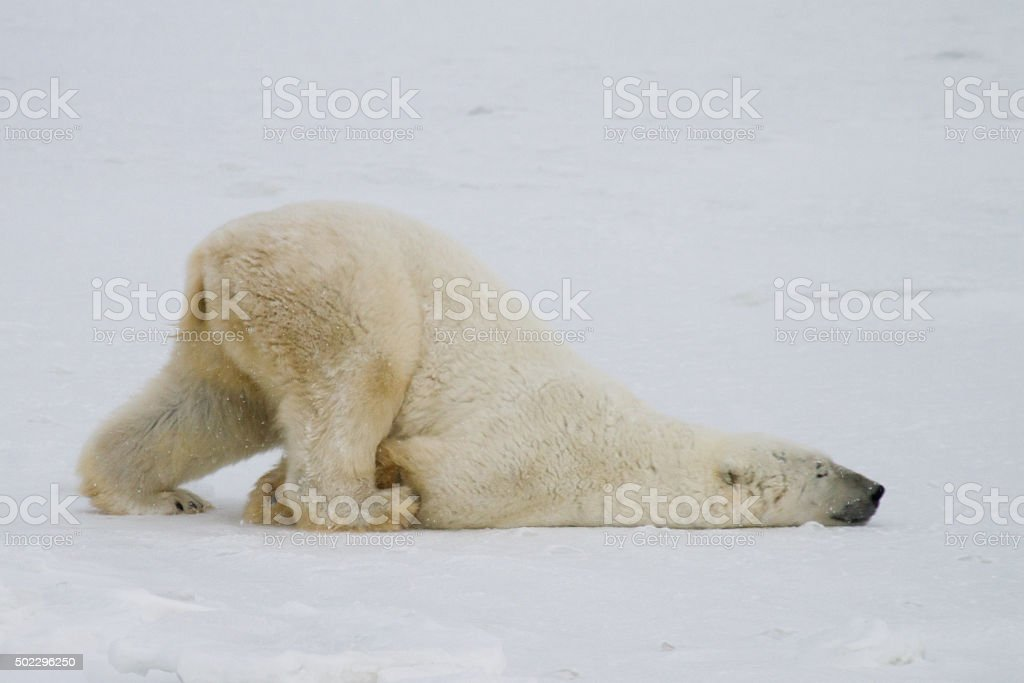 polar bear slide stock photo
