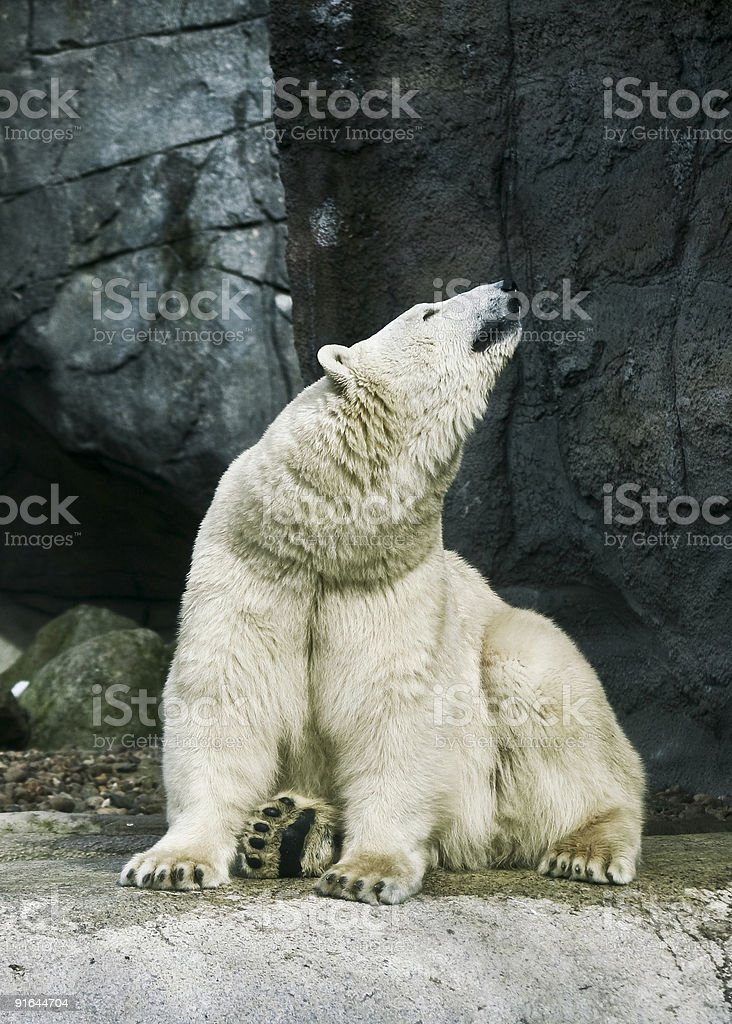 Polar bear smells food royalty-free stock photo