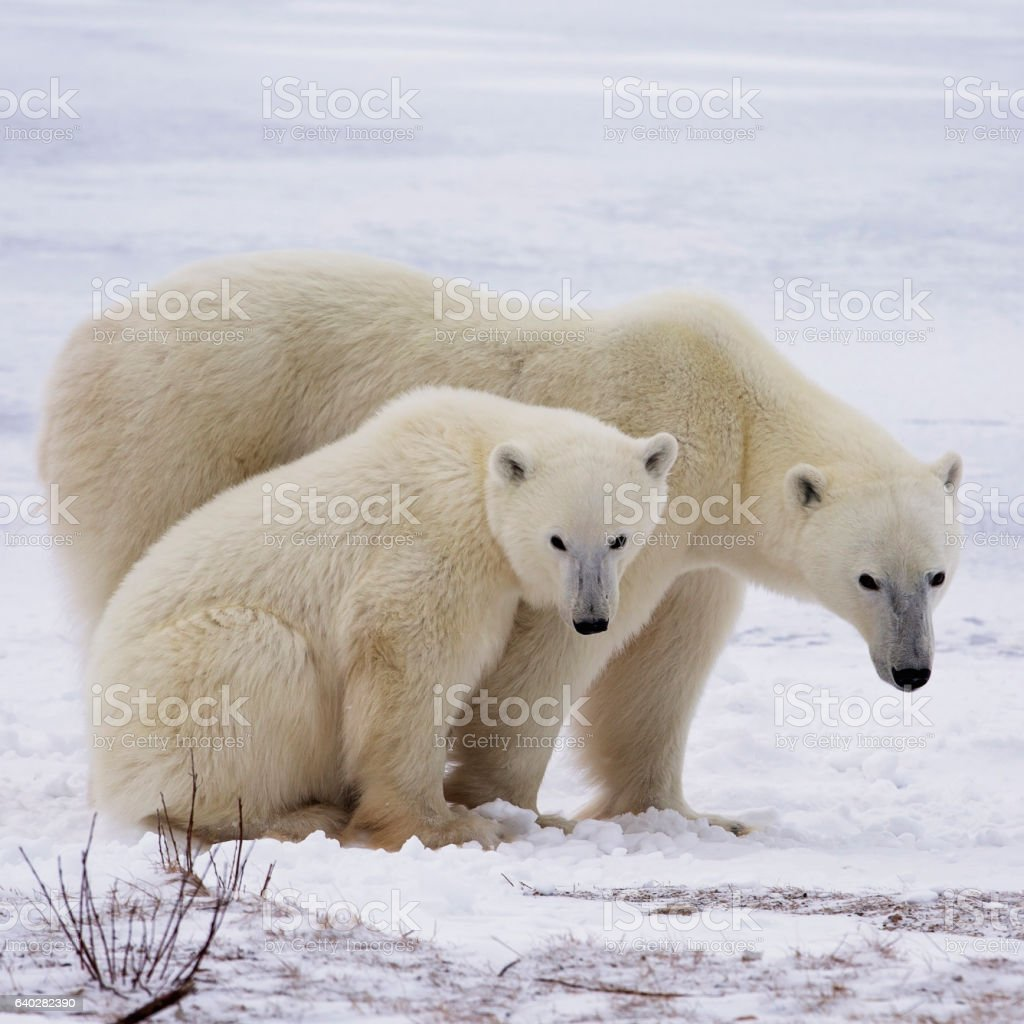 Polar bear sow and cub stock photo