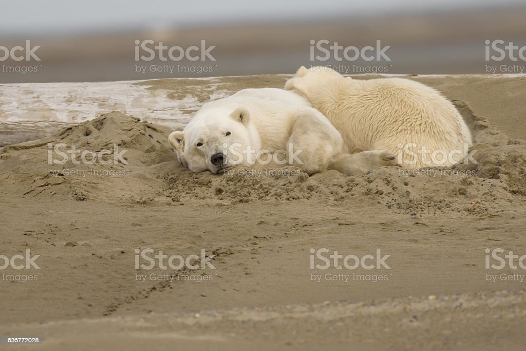 Polar Bear Sow and Cub Sleeping on Land in ANWR stock photo