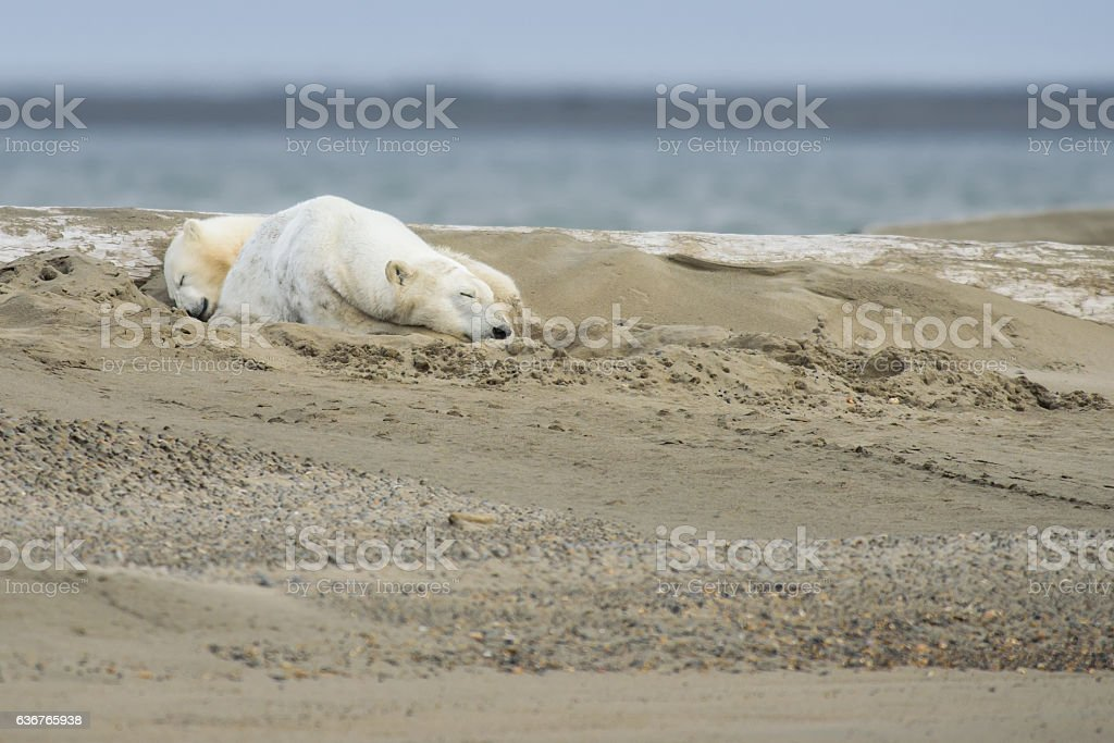 Polar Bear Sow and Cub Sleeping on Land stock photo