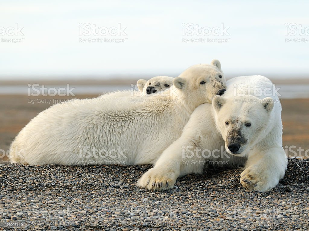 Polar Bear sow and cubs lying in gravel stock photo