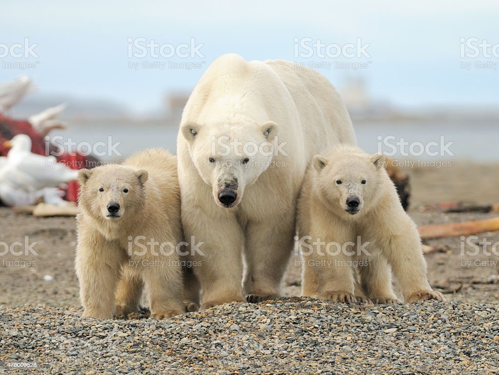 Polar Bear sow and cubs stock photo